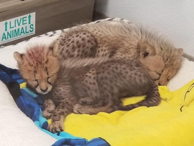Спящие гепарды