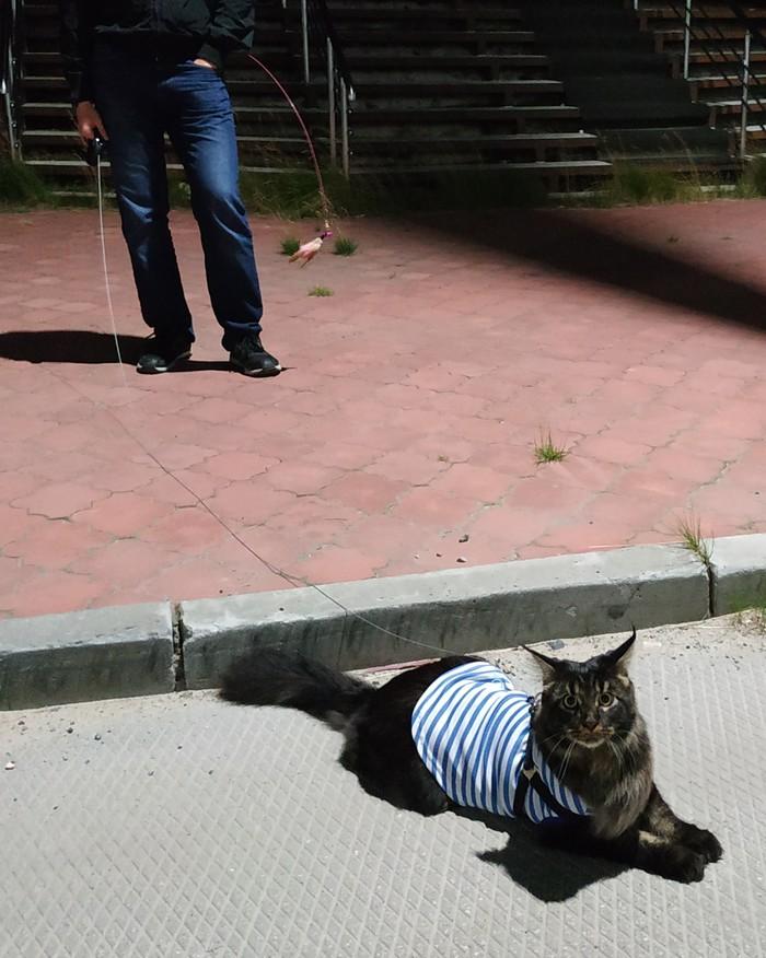 Как кот Бегемот стал котом Матроскиным Кот бегемот, Мейн-Кун, Усылапыхвост, Кот, Длиннопост