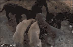 Минутка кунг-фу. Пёс атакует в стиле пьяного мастера.