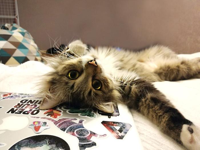 Что смотришь? Гладь. Котомафия, Кот, Сибирский кот, Домашние животные, Фотография