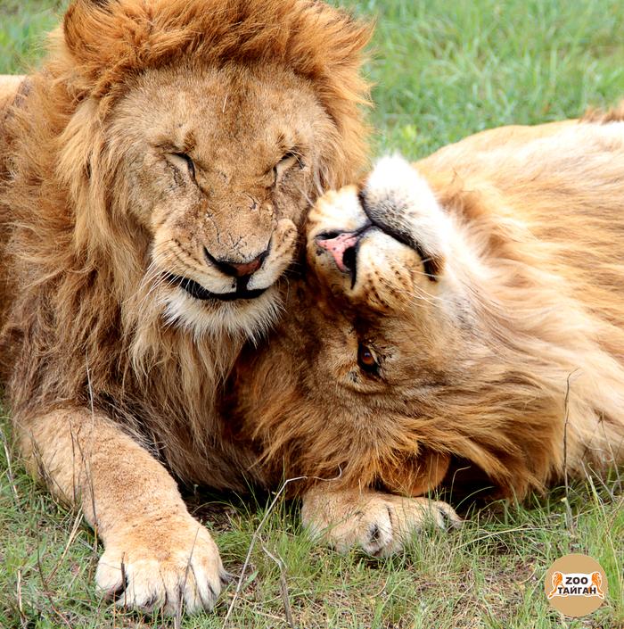 Львиное братство. Чук и Гек. Тайган, Парк, Паркльвов, Зоопарк, Крым, Лев, Большие кошки, Кот