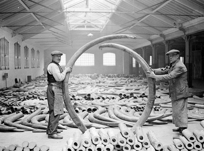 Невероятное количество слоновьих бивней, ввозимых в Лондон в 1920-х годах Фотография, Лондон, Бивень, История, Длиннопост