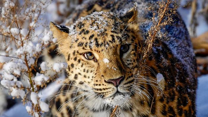 Случайные встречи с леопардами в России Леопард, Хищник, Животные, Дальний восток, Длиннопост