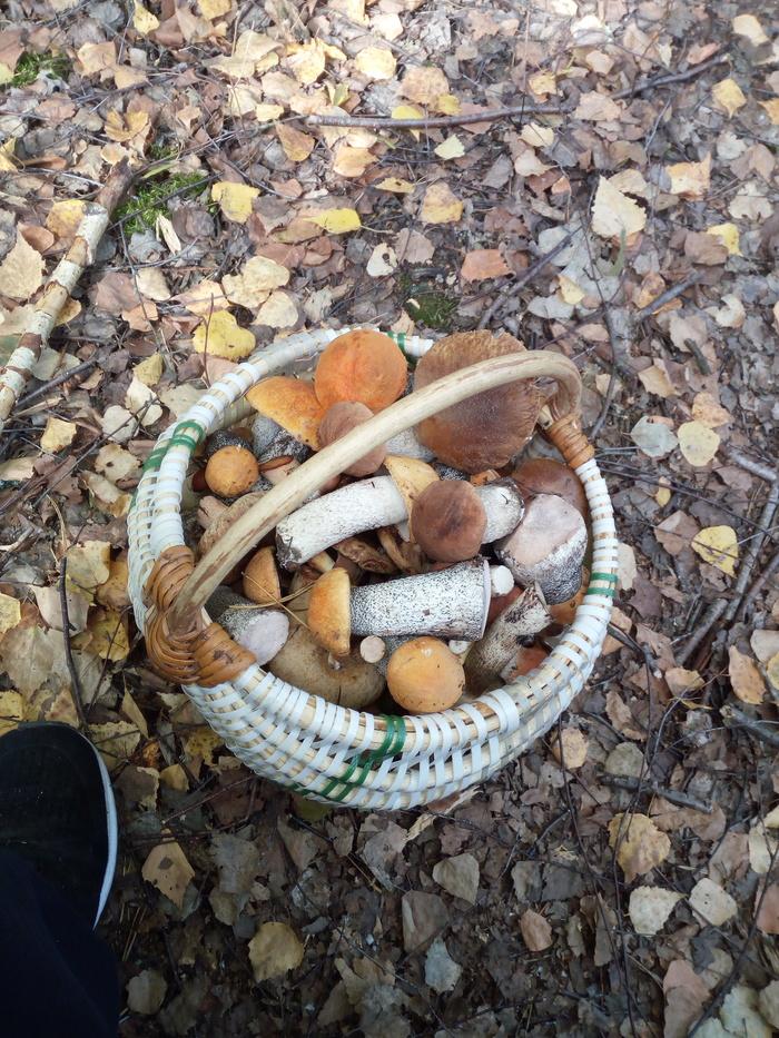 Скоро конец сезона, а грибы только пошли... Грибы, Беларусь, Грибной сезон, Длиннопост