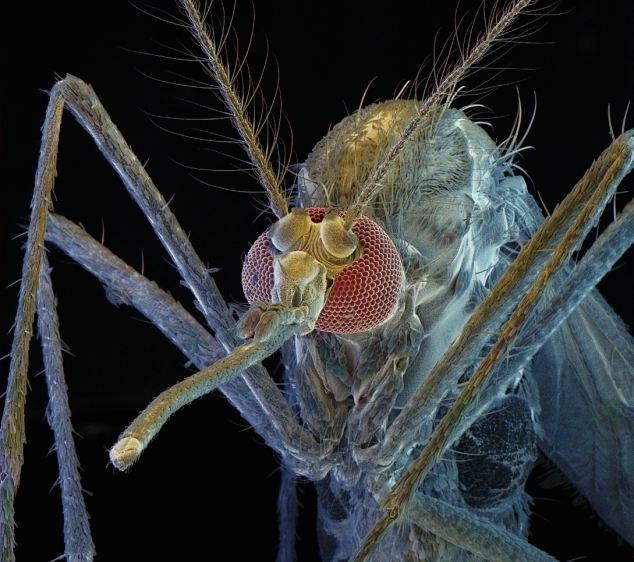 Реальные вампиры: 5 экзотических способов умереть от укуса комара. Заболевания, Комары, Биология, Медицина, Вирус, Длиннопост