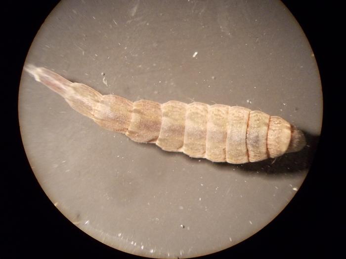 Личинка мухи львинки Личинка, Насекомые, Муха, Фотография, Длиннопост