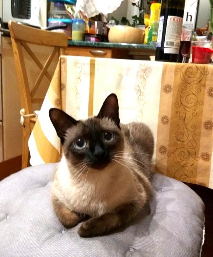 Я тебя слушаю Кот, Фотография, Кухня, Тайская кошка