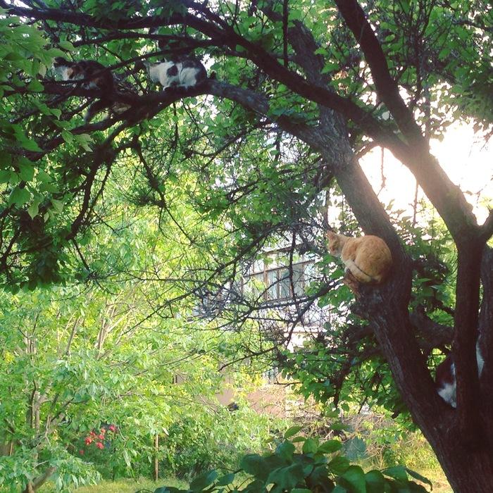 В нашем городе коты растут на деревьях