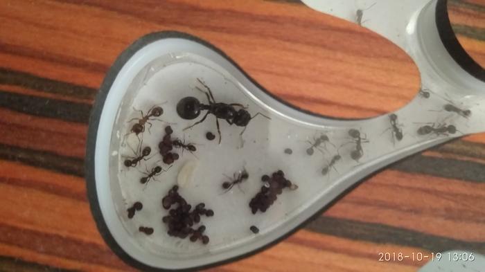 Ну вот и мои мураши переселились в новый дом. Мирмикипер, Муравьи, Формикарий, Насекомые, Длиннопост