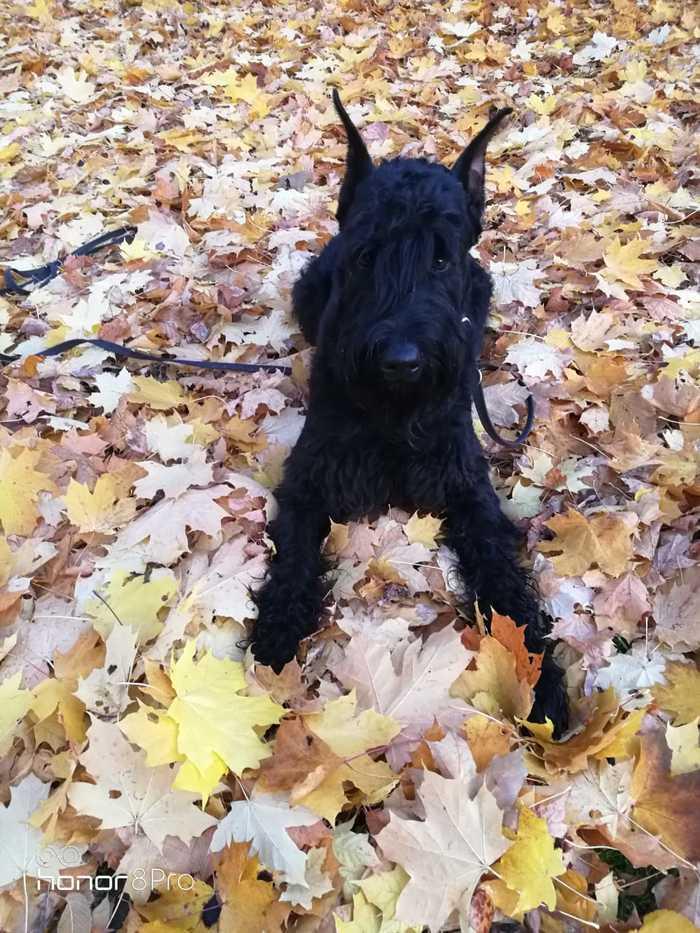 Осень Ризеншнауцер, Собака, Оззи Осборн, Осенние листья