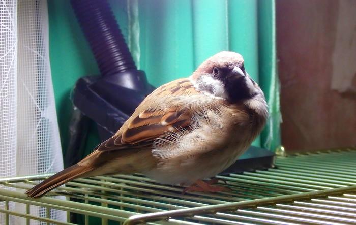 А у нас наконец-то новый и красивый хвост) Птицы, Полевой Воробей, Воробей Тоша, Воробей, Хвост воробья, Линька