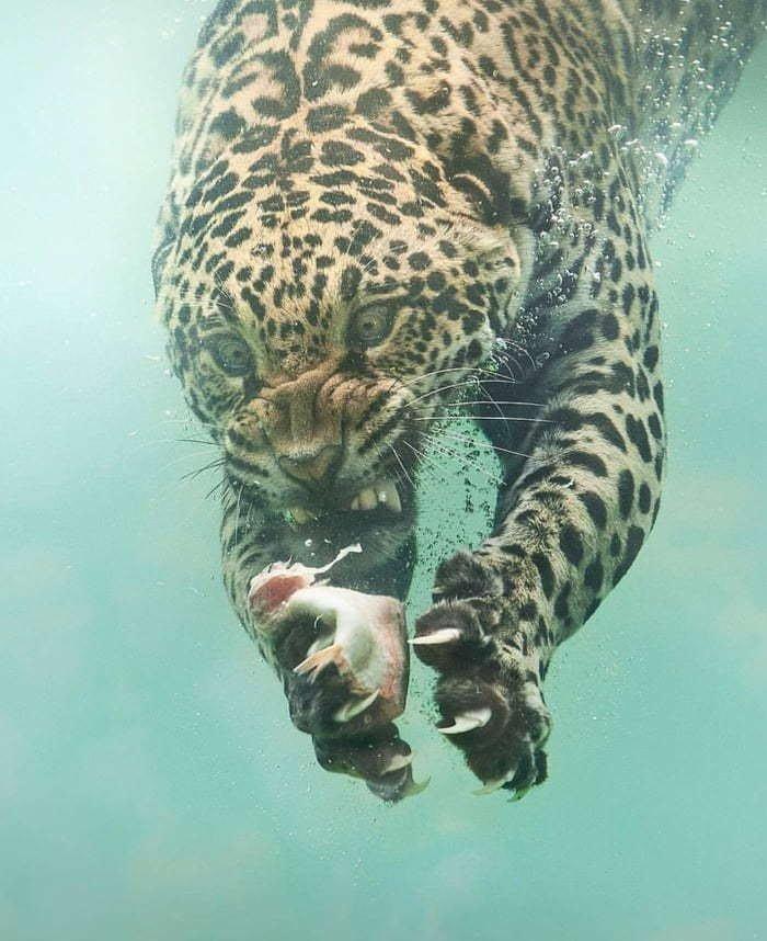 Леопард на рыбалке