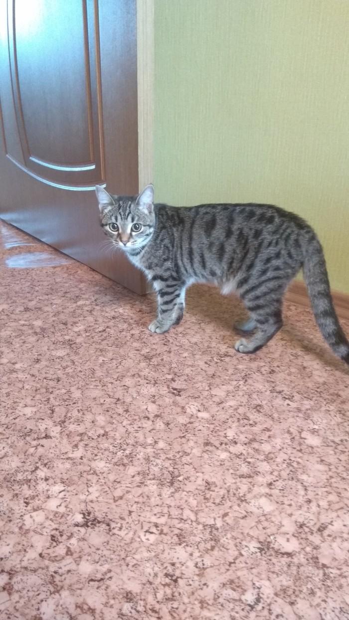 Ищу кошке хорошего хозяина Длиннопост, Кот, Новосибирская область, В добрые руки, Без рейтинга