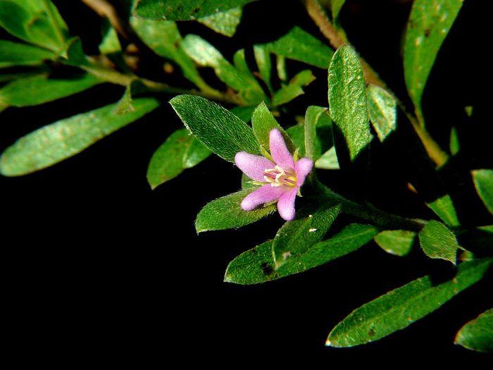 Кармона – уход в домашних условиях, фото, цветение Кармона, Комнатные растения, Домашние цветы, Длиннопост