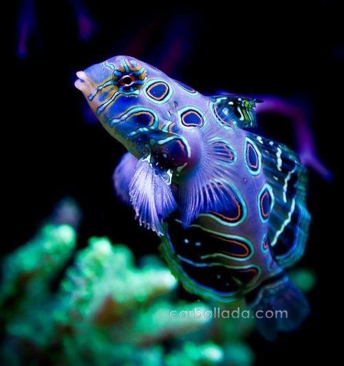 Яркие краски подводного мира Рыба, Аквариум, Море, Океан, Краски, Длиннопост