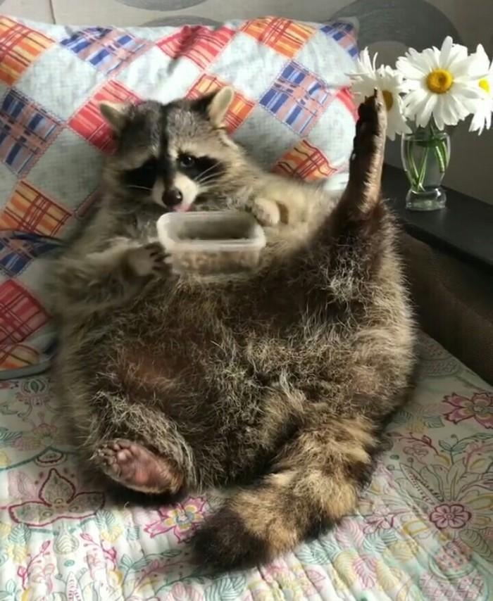 Хоба! Хоба, Животные, Мило, Енот, Домашние животные, Instagram