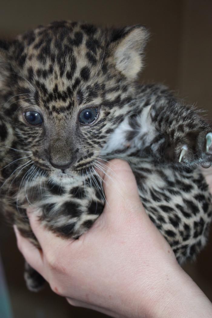 Кот, он и в Африке кот Челябинский зоопарк, Челябинск, Животные, Леопард, Большие кошки, Длиннопост