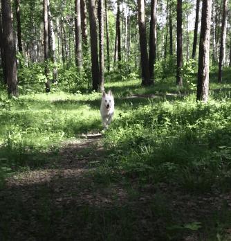 Белая Швейцарская овчарка - Урса. Моя собака и её щенки. Гифка, Лес, Собака, Белая Швейцарская овчарка, БШО, Длиннопост, Овчарка, Фотография