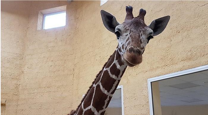 Жирафы и люди: печальная история вдали от Африки Животные, Люди, Лицемерие, Прибыль, Не смотря ни на что, Длиннопост