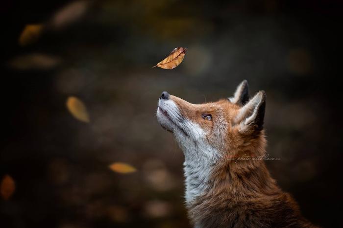 Осенний лист Лиса, Фотография, Милота, Животные, Осень, Осенние листья