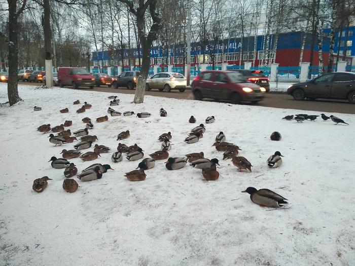 Ничего необычного, утки посреди Вятки припарковались ненадолго. Вятка, Утка, Город, Городская среда, Длиннопост