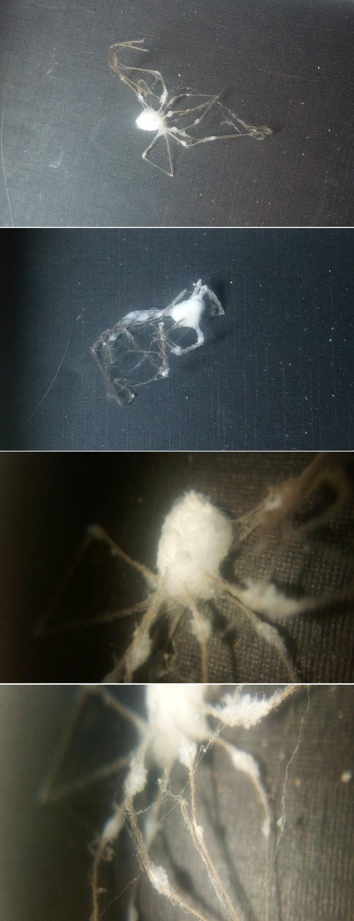 """""""Ватные"""" пауки или плотоядная плесень. Версия 2.0 Паук, Плесень, Кордицепс, Длиннопост"""