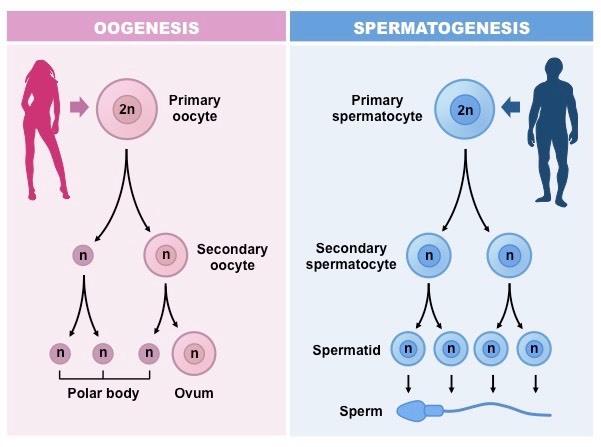 ВРТ: основные понятия и технологии Эмбриология, Врт, Репродукция, Здоровье, Длиннопост