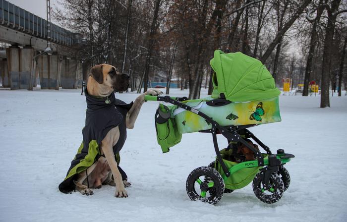 Большой нянь Питомец, Милота, Прогулка, Семья, Собака