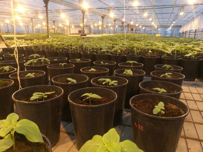 Зима, холода... а у нас тепло и зелень Зима, Теплица, Подсолнух, Лига Сельского Хозяйства, Прогрессивное растениеводство, Селекция, Длиннопост