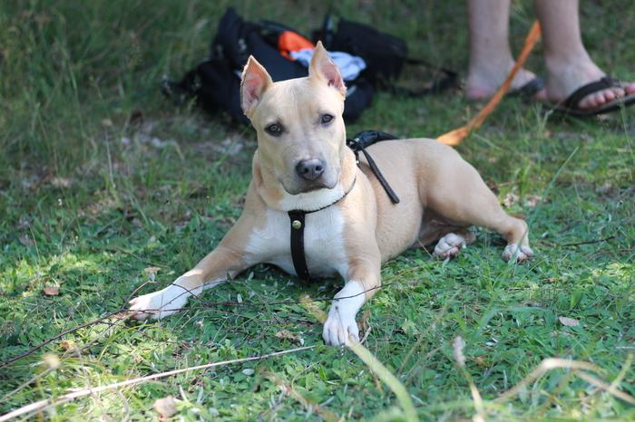 Изменения Берты) Амстафф, Собака, Изменения, Фотография, Длиннопост