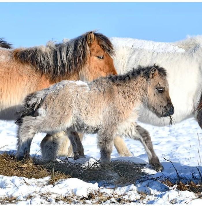 Зимние жеребята. Якутская лошадь, Республика Саха, Жеребенок, Зима, Мороз, Животные, Лошадь, Якутия