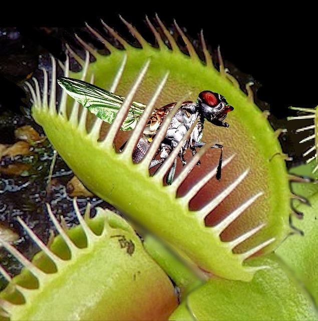 Венерина мухоловка - хищник в доме Венерина мухоловка, Комнатные растения, Домашние цветы, Длиннопост