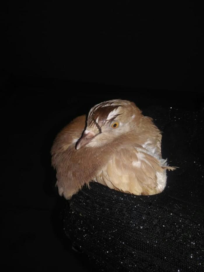 Помогите спасти птичку Голубь, Лига Орнитологов, Первая помощь, Больная птица, Длиннопост