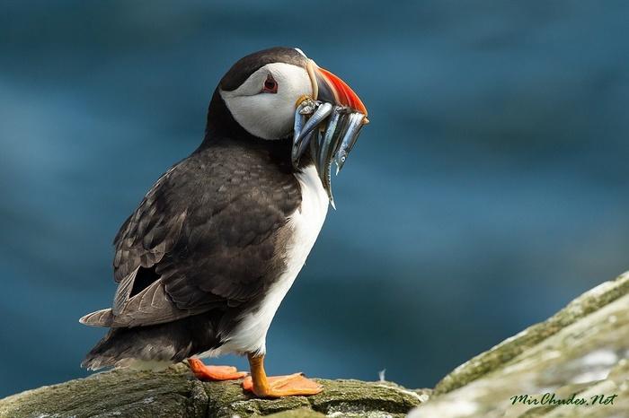 Остров с миллионом тупиков Тупик, Птицы, Исландия, Длиннопост
