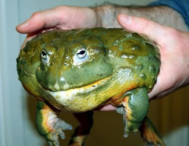 Хочу все знать! #68. Как лягушка - бык своих головастиков спасает. Хочу все знать, Лягушки, Природа, Головастики, Родители, Инстинкт, Интересное, Видео, Длиннопост