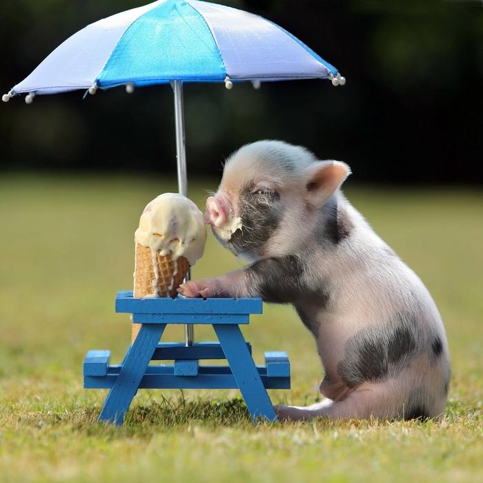 Взгляд Мини-Пиг, Взгляд, Мороженое, Свинья