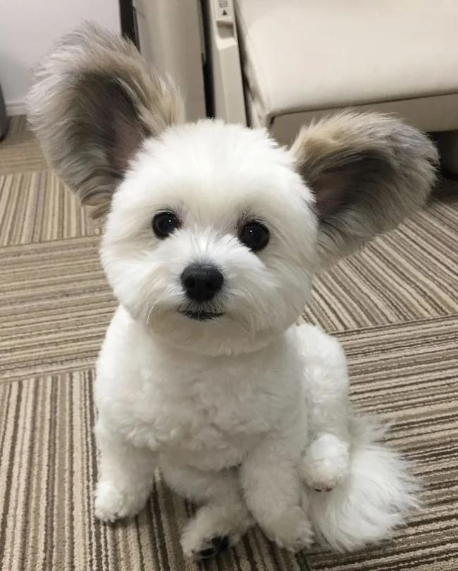 Плюшевый пёс Собака, Уши, Милота, Стрижка