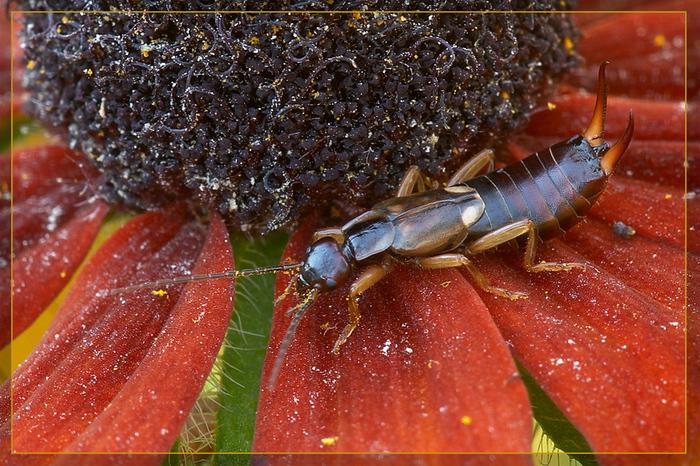 Позитив о насекомых. Насекомые, Домашнее насекомое, Чудеса природы, Длиннопост, Уховертка