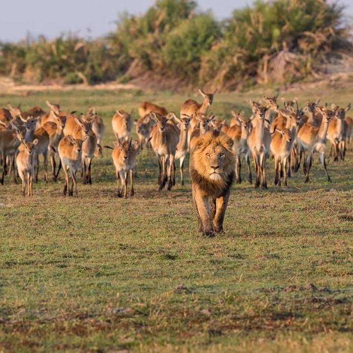 Гордо удаляюсь Фотография, Животные, Лев, Антилопа, Личи, Африка