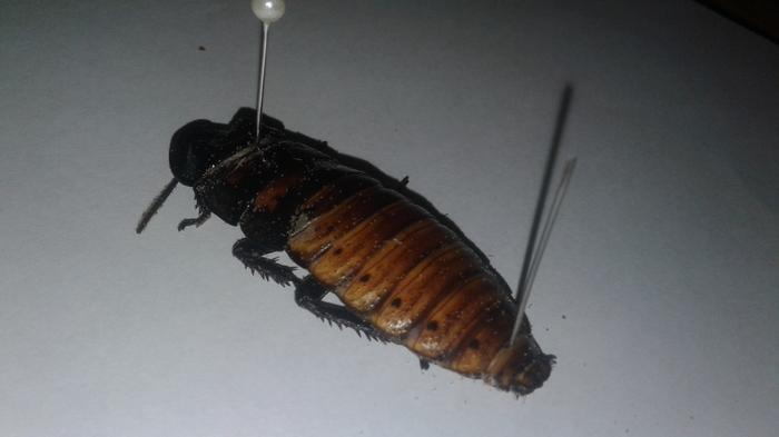 Разборка на запчасти таракана и выяснение причин; часть 2 Тараканы, Мадагаскарский таракан, Паразиты, Длиннопост, Террариум, Жесть, Определённо жесть, Видео