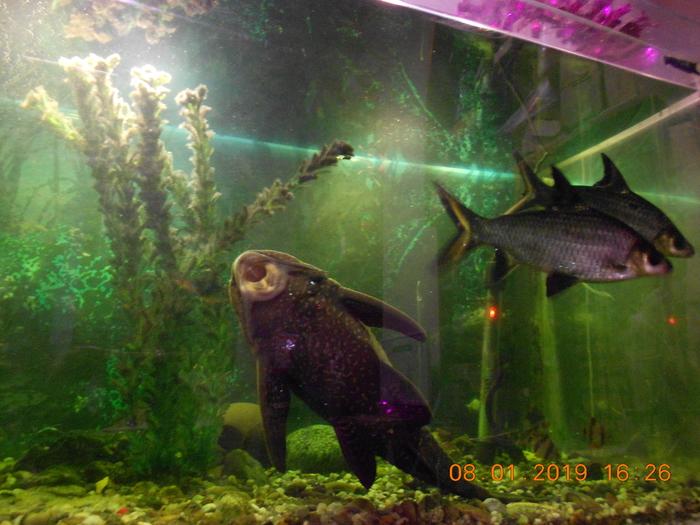 Мой аквариумный любимчик Аквариум, Рыба, Сом, История, Длиннопост