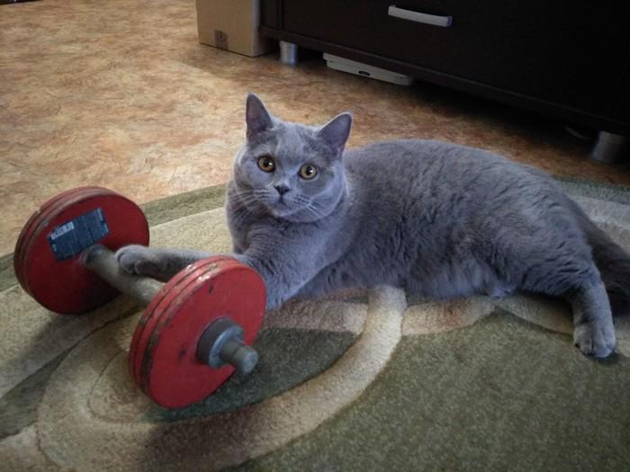 Хозяин, бро! Надо подкачаться! ЗОЖ, Физкультура, Британский кот, Кот