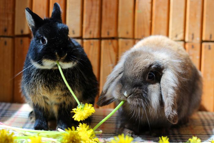 Скушали солнышко Кролик, Одуванчик, Растения, Фотография, Милота, Длиннопост