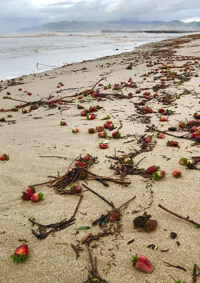 Ураган прошел над клубничным полем
