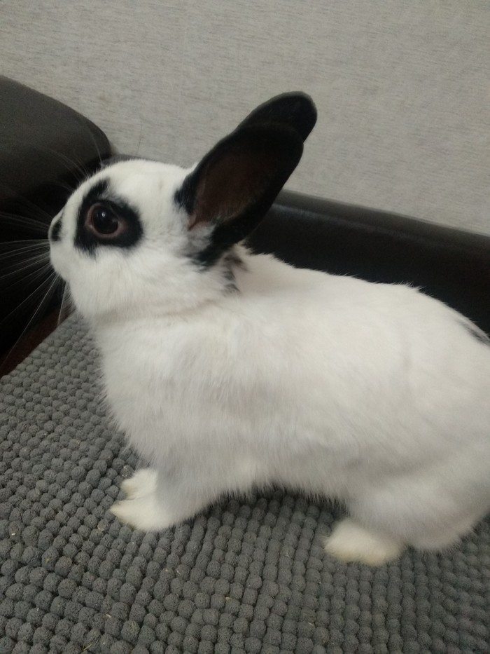 Отдам даром декоративных кроликов.еще есть серый кролик. Москва