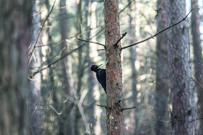 О братьях меньших пост Фотография, Природа, Лес, Птицы, Дятлы, Большой черный дятел