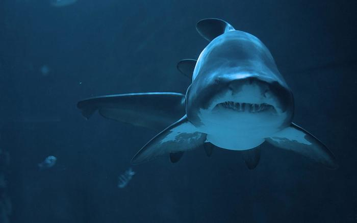 Акулы не чувствуют боли Акула, Море, Хищник, Мир, Длиннопост