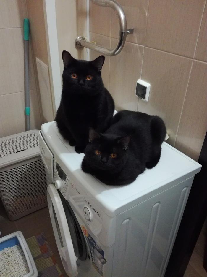 Плюшевые котики Кот, Британцы, Британская короткошерстная, Братья, Длиннопост, Домашние животные