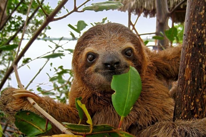 Дом престарелых для ленивцев появился в зоопарке Великобритании Зоопарк, Дом престарелых, Великобритания, Ленивец