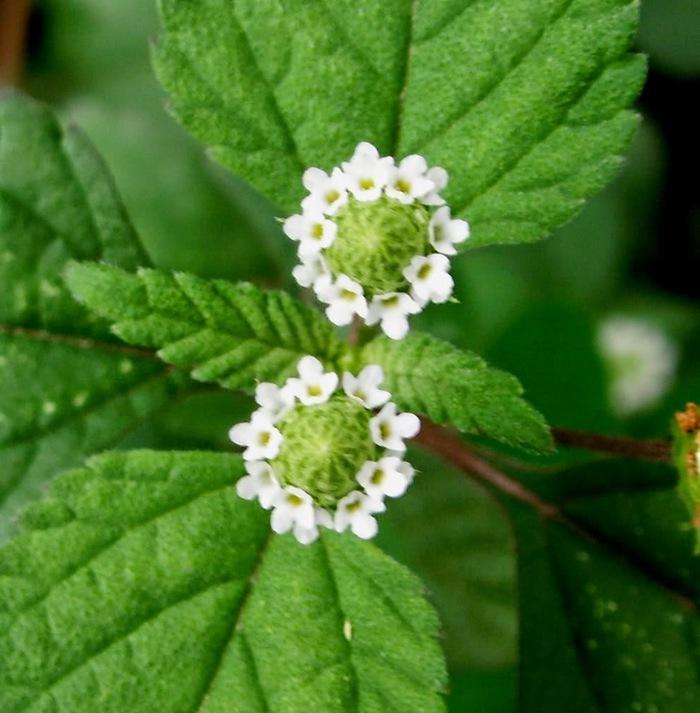 Цветок диабетика Липпия, Сахарный диабет, Стевия, Выращивание в горшке, Длиннопост